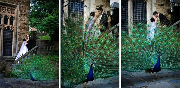mai montsalvat peacock c333